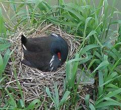 Fauna toscana uccelli acquatici for Immagini di laghetti artificiali